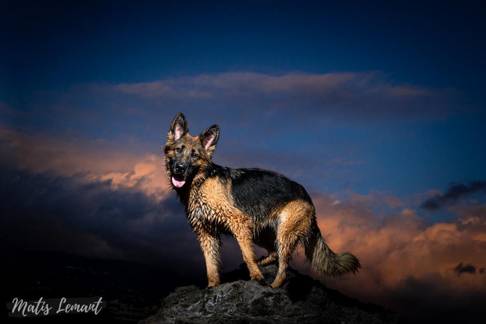 Mia pastor aleman fotografia perro tenerife matis lemant (2)